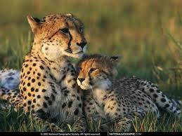 File:Cheetah 2.jpg