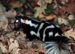 Eastern Spotted Skunk