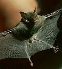 File:Bumblebee Bat.jpg