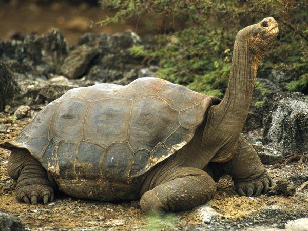 File:Galápagos Tortoise.jpg