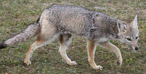 Pampas Fox