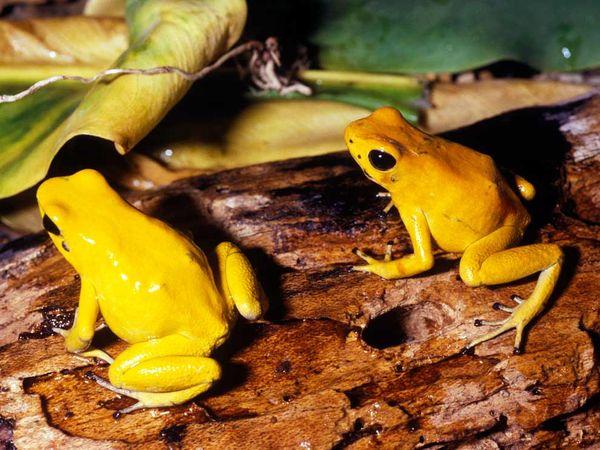 File:Golden Poison Dart Frog.jpg