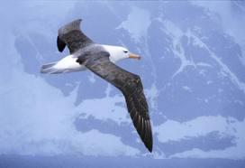 File:Black Browed Albatross.jpg