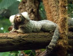 File:Common Marmoset.jpg