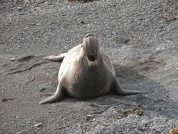 File:Elephant Seal.jpg