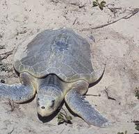 File:Kemp's Ridley Sea Turtle.jpg