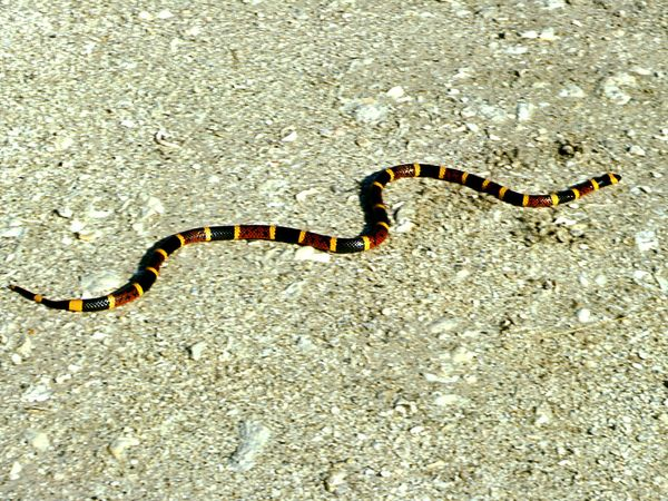 File:Eastern Coral Snake.jpg