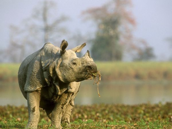 File:Indian Rhinoceros.jpg