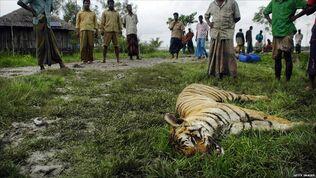 53006664 dead tiger