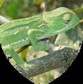 Shield reptilia