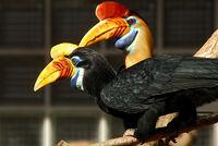Aceros cassidix -Vogelpark Walsrode -pair 8a