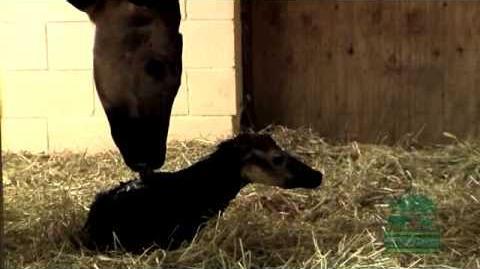 Newborn Baby Okapi - Cincinnati Zoo