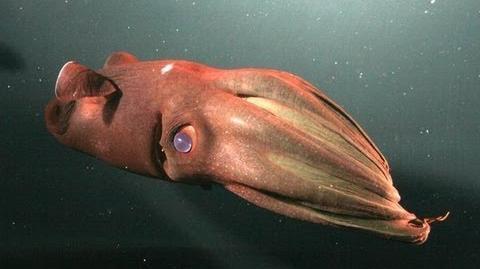 Mysterious Vampire Squid