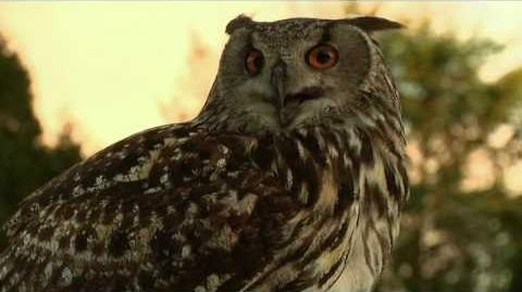 The Notorious Eagle Owl