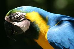 Blue and Gold Macaw head