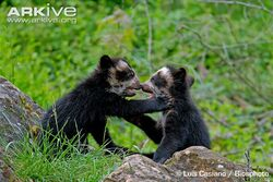 Spectacled-bear-cubs-playing-captive