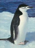Chinstrap Penguin with waterproof feathers