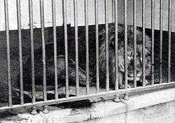 FileCape Lion