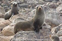 Guadalupe Fur Seal 005