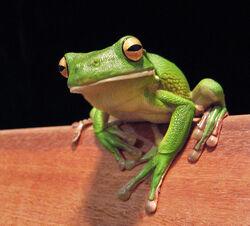 White-lipped tree frog (Litoria infrafrenata)