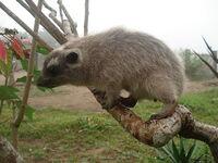 Western tree hyrax (Dendrohyrax dorsalis)