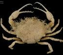 Iphiculus Spongiosus