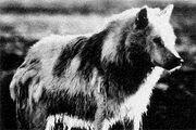 Greenland wolf03