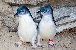 Little Blue Penguin Couple 600