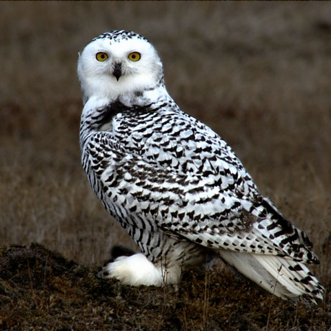 File:Snowy Owl.png