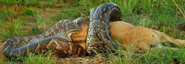 File:Python eating Wildebeest.jpg