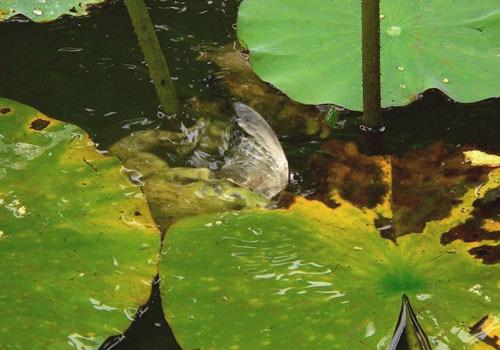 File:Frog Drowning Sparrow.jpg