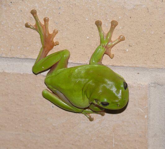 File:Green Tree Frog.jpg