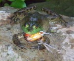File:Bullfrog Eating Hummingbird.png