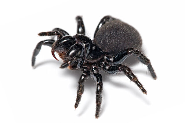 File:Mouse Spider.jpg