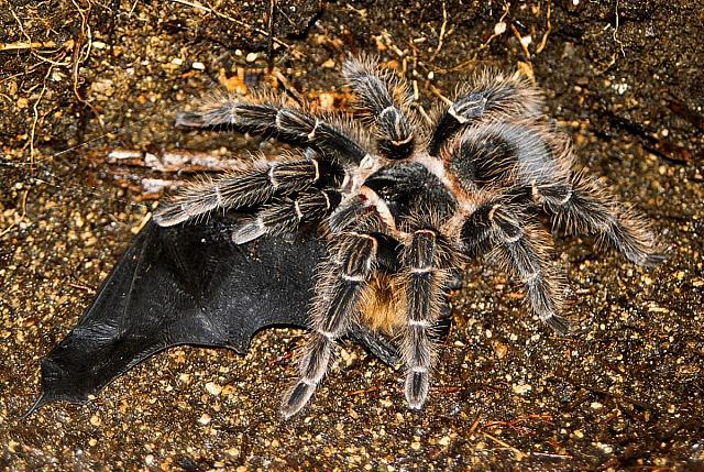 File:Lasiodora parahybana eating Bat.jpg