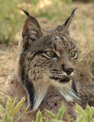 File:Spanish Lynx.png