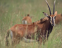 File:Giant Sable Antelope.png