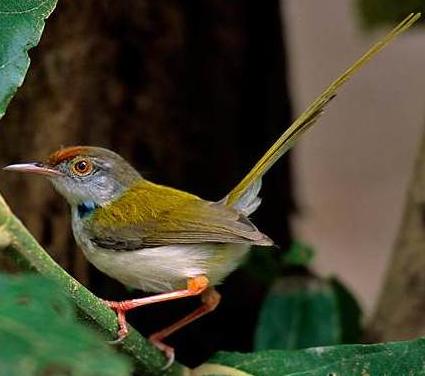 File:Tailorbird.png