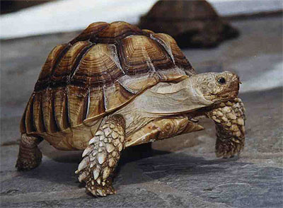 File:African Spurred Tortoise.png