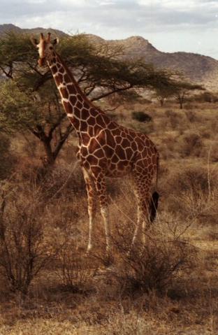 File:Reticulated Giraffe.png