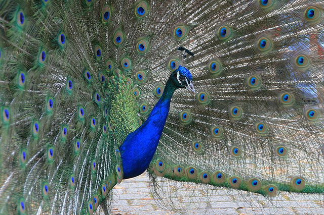 File:Common Peafowl.png