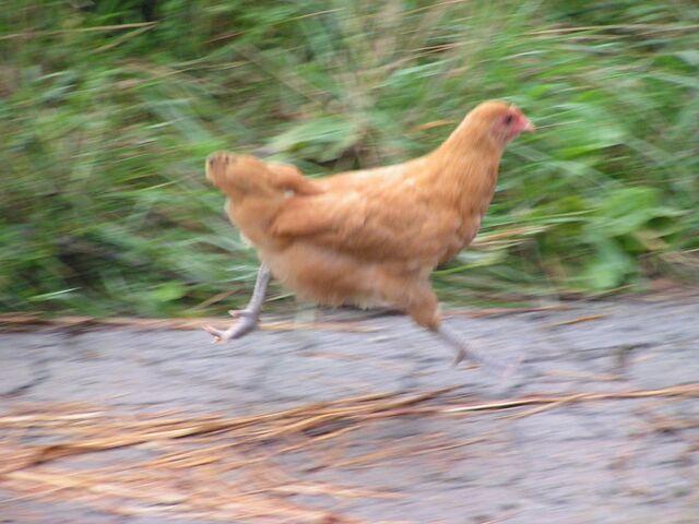 File:Chicken043.jpg