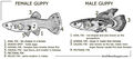 Guppy poecilia reticulata male female anatomy.jpg