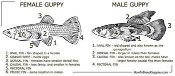 Guppy poecilia reticulata male female anatomy