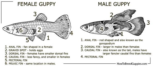 File:Guppy poecilia reticulata male female anatomy.jpg