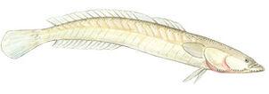 Kraemeria samoensis samoan sand dart illustration