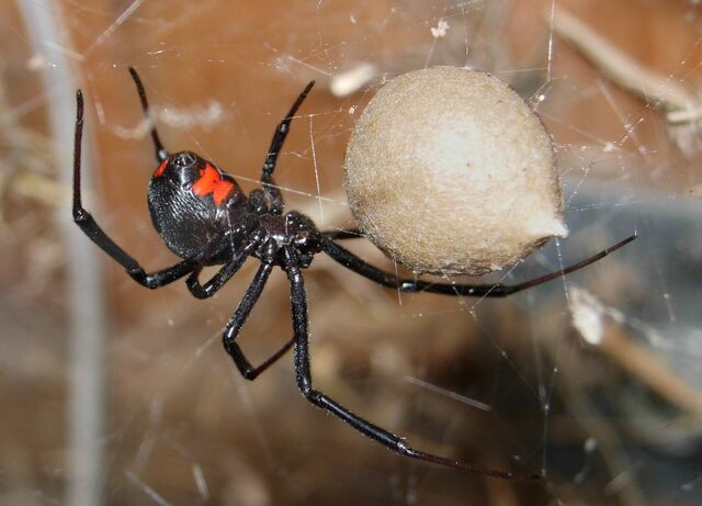 File:Black Widow Spider 07-04-20.jpg