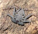 Tailless Whip Scorpion (Amblypygi)