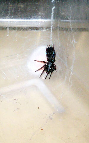 File:375px-White Tailed Spider with Egg Sack.jpg