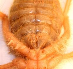640px-Solifugae Ventral aspect of respiratory slots 2012 01 24 0985s